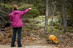 Unexpected Visitor (Bert CR) Tags: nature wolf wildlife deer fox wildanimal algonquin wilderness algonquinpark provincialpark algonquinprovincialpark wellfed amazingday quiteaday