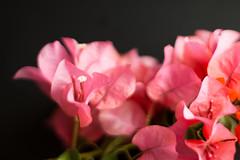 still life black -34 (MARTINEZ PHOTOGRAPHY JP) Tags: flowers music flores flower cup flor it violin be beatles coffe let bugambilias