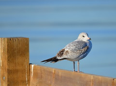 Ring-billed Gull (Immature 1st Winter) (Neal D) Tags: bird bc seagull gull surrey crescentbeach ringbilledgull blackiespit larusdelawarenis