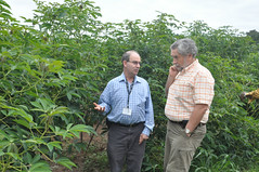 Multiplication of Pro-vitamin A cassava (IITA Image Library) Tags: cassava iita manihotesculenta provitamina