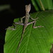 Indonesia Earless Agama (Aphaniotis acutirostris)