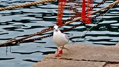 camminando sul  molo ... (miriam ulivi) Tags: sea nature harbor pier nikon italia mare seagull liguria porto molo gabbiano sestrilevante miriamulivi