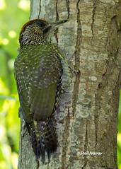 European green woodpecker -juvenile (Stoil Ivanov) Tags: green gardens garden botanical woodpecker european palace bulgaria balchik viridis picus