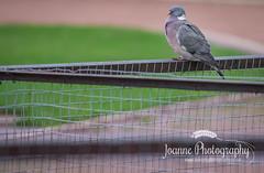 Pigeon on fence (joannephotographyuk) Tags: bird pigeon 2016 localpark