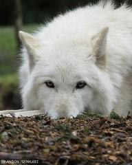Canis lupus (brandoncvn72) Tags: seattle nature canon wolf hunter washingtonstate mothernature graywolf woodlandparkzoo carnivore timberwolf greywolf canislupus canonsx50hs