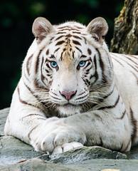 Portrait of a White Tiger (dawvon) Tags: travel nature animals cat portraits mammal singapore asia southeastasia dof bokeh depthoffield bigcat sg whitetiger shallowdepthoffield singaporezoo bengaltiger republicofsingapore pantheratigristigris zoophotography royalbengaltiger whitebengeltiger