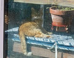 I Was Sunning (Gabriel FW Koch) Tags: window cat canon outside eos eyes orangecat kitten feline dof outdoor tail ears scooter 100mm greenhouse gingercat behindglass
