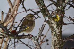 Grnfink (NikonTreeMonkey) Tags: life winter tree bird animal austria tirol sterreich wings europa europe ast european ste baum greenfinch tyrol leben tier vogel schnabel flgel comune brench carduelis chloris verdier deurope verdone standvogel kurzstreckenzieher