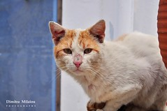 hello my friends... (dimitra_milaiou) Tags: world life blue light wild portrait pet white love nature beautiful face look animal vertical cat greek photography nikon europe day village earth d live hellas kitty visit class line greece half planet hi moment 90 andros cyclades dimitra d90     milaiou