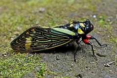 Distantalna splendida - a very special cicada (BugsAlive) Tags: macro nature animal cicada insect thailand outdoor wildlife insects chiangmai hemiptera cicadidae doisutheppuinp cicadinae liveinsects distantalnasplendida