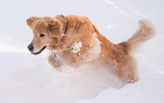 Golden Retriever Jumping Through Deep Snow from the Blizzard of 2016 (scattered1) Tags: winter dog pet snow storm motion cold face weather animal tongue goldenretriever fur fun mammal golden jump play action head tail snowstorm canine run retriever liam ear jonas blizzard bound leap winterstorm retrieve 2016 snowzilla blizzard2016 winterstormjonas