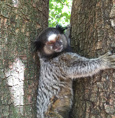 Serie com o Sagui-de-tufos-pretos (Callithrix penicillata) - Series with the Black-ear-tufted-marmoset - 16-02-2016 - IMG_0725 (Flvio Cruvinel Brando) Tags: brazil naturaleza nature animal animals braslia brasil cores close natureza series mico animais cor srie perto closer marmoset sagui saguis sries soim callithrix callithrixpenicillata penicillata blackeartufted saguidetufospretos blackeartuftedmarmoset tufospretos
