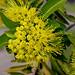 Golden Penda - Xanthostemon chrysanthus