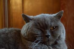 VINCI (Mystycat =^..^=) Tags: animal cat feline chat kitty bleu gato shorthair british katze vinci gatto britishshorthair flin vincidelachzine