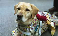 Guide dog in the raincoat (odeleapple) Tags: dog film zeiss 50mm nikon carl f2 guide raincoat planar fujicolorpremium400