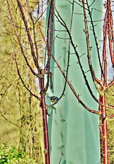 If I fall  ... will you catch me? (Darling Starlings Flying the Nest) Tags: winter tree bird gardens arty zoom branches relaxing processing perched february pitstop bluetit myfave wisley dayout rhs verticals 2016 flittingaroundtherestauranttablesoutside