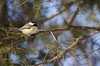 Monday Melody (flashfix) Tags: trees winter snow ontario canada green bird nature animal pinetree pose nikon branch bokeh ottawa bluesky aves chickadee mothernature animalia 2016 passeriformes poecile chordata paridae d7000 nikond7000 55mm300mm 2016inphotos february292016
