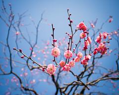 Plummy Day (H.H. Mahal Alysheba) Tags: pink blue sky flower japan garden lumix dof bokeh wide plum kowa prominar gx7 12mmf18