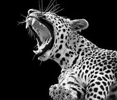 leopard bw (Greg Rhoads) Tags: white black teeth leopard