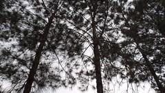 42/366 Trees (JessicaBelotto) Tags: trees planta nature amazing day foto view ar natureza dia paisagem céu days honey oh nublado ao fotografia projeto livre frio árvores fotográfico visão pinheiros fotografando 366 incrível 366daysofhoney 366diasnoano
