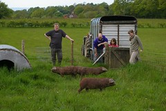 new weaners on fresh grass