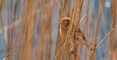 Reed Bunting-6879 (WendyCoops224) Tags: reed canon eos explore bunting 70d winterwatch 100400mml rspblakenheath ©wendycooper