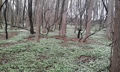 Ul gir de munt  Km 13  13/03/16 (Londrina92) Tags: flowers nature woodland walking woods outdoor hiking wildflowers fiori brianza bosco sottobosco camminata montesiro besanabrianza tapasciata