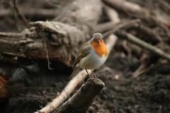 Robin (tasj) Tags: zoo ouwehandsdierenpark