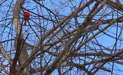 Cardinal (Ahrem Pea Photography) Tags: red west tree bird 35mm virginia nikon branch cardinal nikkor eastern panhandle d5200