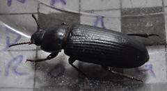 Black Beetle Crop - Tenebrio molitor - Mealworm Beetle (Procrustes2007) Tags: uk england insect suffolk britain wildlife flash beetle sudbury coleoptera closeuplens wildlifephotography greatcornard nikond90 mealwormbeetle tenebriomolitor afsnikkor1855eddx gridreftl883407 d90beetle