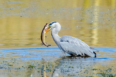 Grey Heron and Pike (explore) (phat5toe) Tags: fish nature birds nikon wildlife hunting feathers pike penningtonflash avian wigan flashes greyheron wader greenheart d7000 sigma150500