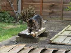 Oliver ... my supervisor for the afternoon (wallygrom) Tags: england cat oliver westsussex angmering merryfield