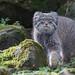 Pallas's Cat 2016-02-11-0271