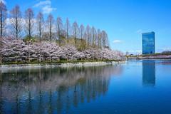 Moat of Osakajou Castle (peaceful-jp-scenery) Tags: flower castle cherry spring sony blossoms    sakura osaka cpl amount   carlzeiss  osakajou    a99 sal2470z variosonnart2470mmf28za 99 slta99v