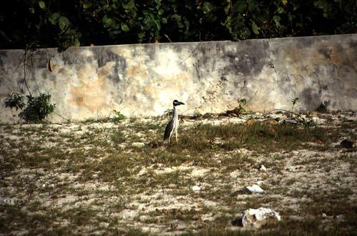 "Bahamas 1989 (708) San Salvador: Krabbenreiher • <a style=""font-size:0.8em;"" href=""http://www.flickr.com/photos/69570948@N04/25736958890/"" target=""_blank"">View on Flickr</a>"