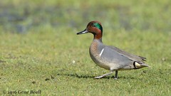 Green-winged Teal, male (03) (Gene Beall) Tags: park lake state sammamish