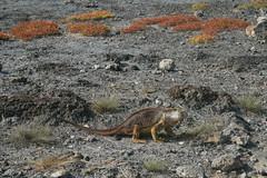 IMG_7630 (chupalo) Tags: landiguana lavarocks islasplaza