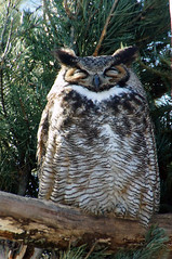 Life Nocturnal (rburtzel) Tags: sleeping evergreen owl perched mnzoo minnesotazoo