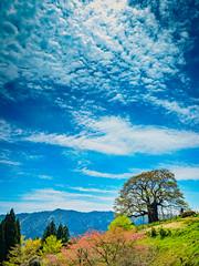 PhoTones Works #7763 (TAKUMA KIMURA) Tags: nature japan cherry landscape spring scenery blossom olympus     okayama kimura daigo    penf takuma    photones