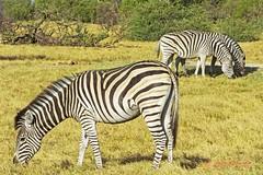 burchell's zebra2 (equus quagga burchellii) (Colin Pacitti) Tags: outdoor stripes ngc zebra wildanimal coth burchellszebra equusquaggaburchellii fantasticwildlife grazingzebra coth5 hennysanimals sunrays5