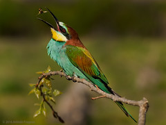 Abelharuco (Merops apiaster) (Arlindo Fragoso) Tags: wild naturaleza bird nature birds wings wildlife natureza birding pssaro natura aves cor birdwatching avian alcochete oiseaux avifauna birdwatcher meropsapiaster abelharuco ornitology ornitologia biodiversidade arlindofragoso