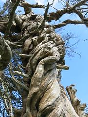 Tree at St James Church, Birdham (Peter Curbishley) Tags: westsussex yew churchyard twisted gnarled birdham