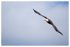 Bald Eagle (Jeffrey Johnson ~~shutter_fringe) Tags: water outdoors wildlife baldeagle raptor fujinon birdinflight pohickbaypark fujixt1 fuji100400mm
