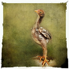 I will be a great singer, when I grow up. (ulli_p) Tags: art texture chicken nature rural thailand asia southeastasia textured isan likeapainting flickraward texturedphoto ruralthailand awardtree artofimages exoticimage canoneoskissx5