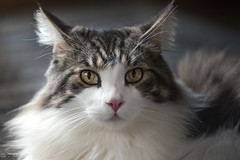 Huh Why is everyone looking at me? (miyukiz4 su ood) Tags: cat kitten gatinho gatito ktzchen chaton  gttino