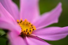 Cosmos (Penseroso) Tags: flowers flower macro cosmos maltby flowerworld nikond7100 micronikkor40mmf28