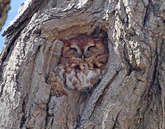Eastern Screech-Owl (Megascops asio) (Otus asio) (Francisco Piedrahita) Tags: aves birds easternscreechowl megascopsasio otusasio rufousphase massachusetts