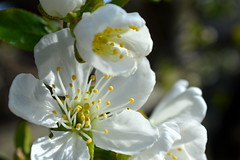 Spring me joy (vegeta25) Tags: flowers white flower macro yellow garden spring nikon blossom outdoor bouquet mothernature d3200 myfuji mothernatureatherbest