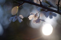 A sunset with blooming (shaw_foto.) Tags: wood sunset blur flower tree floral field sunshine cherry 50mm twilight branch bokeh outdoor m42 twig cherryblossom fujifilm pentacon f18 sprig blooming 50mmf18 xm1 bubblebokeh mcpentacon soapbubblebokeh