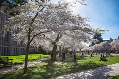 IMG_9462 (elenafrancesz) Tags: uw cherry blossoms wordless